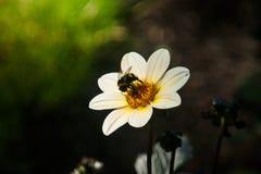 Fond de champ Abeilles et fleur blanche photo libre de droits