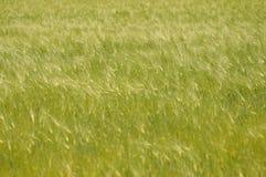 Fond de champ de blé vert Images libres de droits