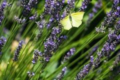Fond de champ Papillon et lavande jaunes photos stock