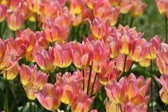 Fond de champ de tulipes photos libres de droits