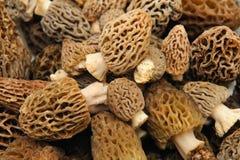 Fond de champignon de couche de morelle Image stock