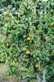 Fond de chrysanthème Photographié d'en haut texur d'usine Photos stock
