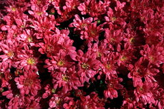Fond de chrysanthème Image stock