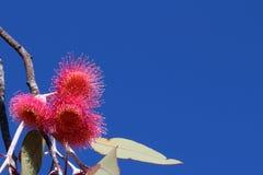 Fond de ciel bleu avec la fleur rouge d'eucalyptus photos libres de droits