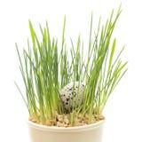 Fond de concept de Pâques Oeufs dans l'herbe verte Image stock