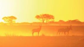 Fond de coucher du soleil de jaune d'or - faune rouge de Hartebeest d'Afrique. Photos stock