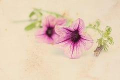 Fond de cru avec des fleurs de surfinia images libres de droits
