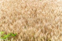 Fond de culture de plein champ de blé Image libre de droits