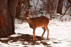 Fond de Fawn Body Portrait Winter Snow de cerfs communs Photo stock