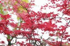 Fond de feuillage d'érable rouge Images stock
