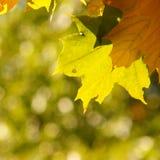Fond de feuille d'automne - photos courantes Photographie stock libre de droits