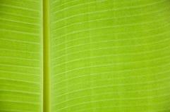 Fond de feuille de banane Photographie stock