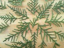 Fond de feuille de cyprès de cèdre Photos stock