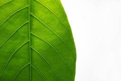 Fond de feuille de plante verte, feuilles sur un fond blanc photo stock