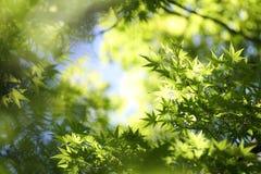 Fond de feuilles d'érables photo stock