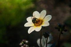 Fond de fleur Abeilles et fleur blanche photographie stock libre de droits