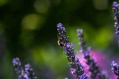 Fond de fleur Abeilles et fleur de lavande photos stock