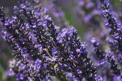 Fond de fleur Abeilles et fleur de lavande images libres de droits