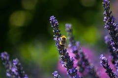 Fond de fleur Abeilles et fleur de lavande image stock