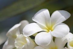 Fond de fleur blanche Images stock