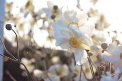 Fond de fleur blanche Images libres de droits