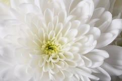 Fond de fleur blanche Photos stock
