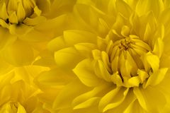 Fond de fleur de dahlia Images libres de droits