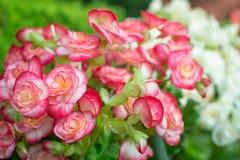 Fond de fleur de bégonia Photographie stock