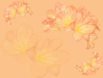 Fond de fleur de Clivia Images libres de droits