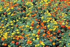Fond de fleur de cosmos, modèle Photo libre de droits