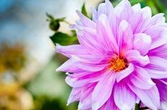 Fond de fleur de dahlia. fleur d'automne photos stock