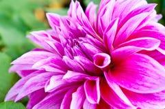 Fond de fleur de dahlia Fleur d'automne photo stock