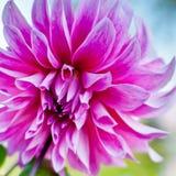 Fond de fleur de dahlia Fleur d'automne photos stock