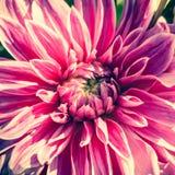 Fond de fleur de dahlia Fleur d'automne images libres de droits