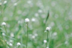 fond de fleur de gass Photo libre de droits