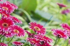 Fond de fleur de Gerbera Photographie stock libre de droits