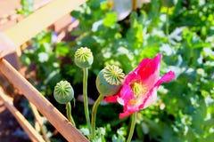 Fond de fleur de pavot Photographie stock libre de droits
