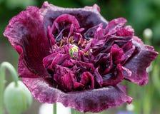 Fond de fleur de pavot beau Images libres de droits