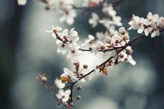 Fond de fleur de ressort, branche de cerisier de floraison images libres de droits