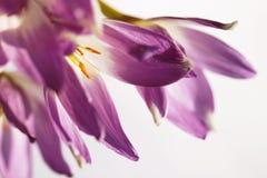 Fond de fleur de safran d'automne Image libre de droits