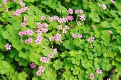 Fond de fleur de trèfle Photographie stock libre de droits