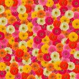 Fond de fleur de Zinnias Images stock