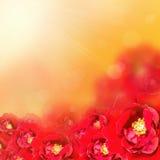 Fond de fleur Le rouge a monté Photos libres de droits