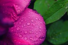Fond de fleur de pivoine Images libres de droits