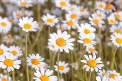Fond de fleur de plan rapproché de fleurs de camomilles de champ images libres de droits