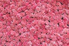 Fond de fleur rose d'oeillet Photos libres de droits