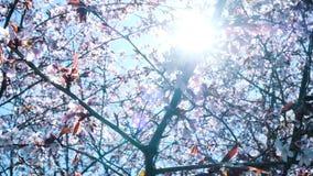 Fond de fleur de sukura de ressort Belle scène de nature avec la fusée de floraison d'arbre et de soleil, mouvement lent banque de vidéos