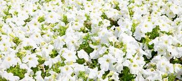 Fond de fleurs blanches Image libre de droits