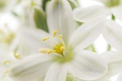 Fond de fleurs blanches Images libres de droits
