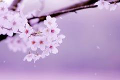 Fond de fleurs de rose de fleurs de cerisier photographie stock libre de droits